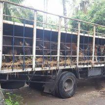 Sempat Ditahan di Ketapang, Akhirnya Puluhan Sapi Bali Dibebaskan