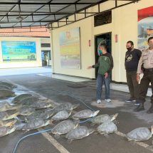 Dit. Polairud Polda Bali Amankan 36 Ekor Penyu Hijau
