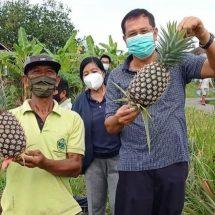 Dinas Pertanian Denpasar Kembangkan Nanas Madu Subang, Produksi Capai 31,6 Ton/Ha