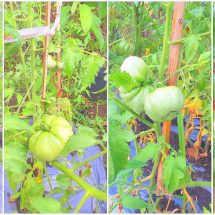 IPSA Bali Berhasil Kembangkan Tomat Lahurus NTT
