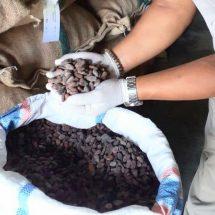 Aroma Khas Biji Kakao Fermentasi Jembrana makin Mendunia