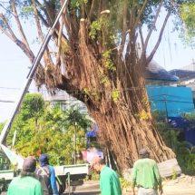 Antisipasi Tumbang, Pohon Besar di Jalan Sugianyar Dirompes
