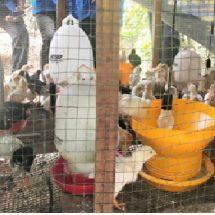 Kurang Diminati, Populasi Ayam Kampung Turun 6,17 Persen